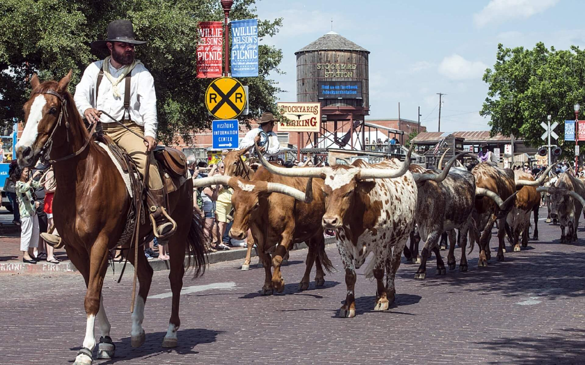 cattle driven through the Fort Worth stockyards