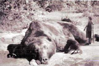 """【くま】体長約2メートル・360キロの""""巨大グマ""""捕獲。5年前からデントコーン畑を荒らしていた個体か。北海道稚内市  [記憶たどり。★]"""