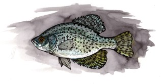 """Crappie   2013   12"""" x 6""""   Pen, watercolor and ink on paper"""