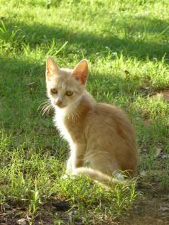 Gato rubio. Cecilia Medina
