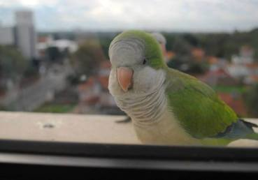 Lorito en la ventana. Richard E. Ferreira Candia