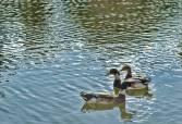Patos en el agua. Roberto Espínola