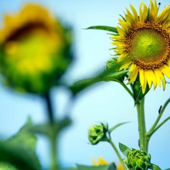 A photograph of a sunflower in Gilliam, La.