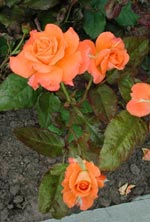 'Flora Danica'
