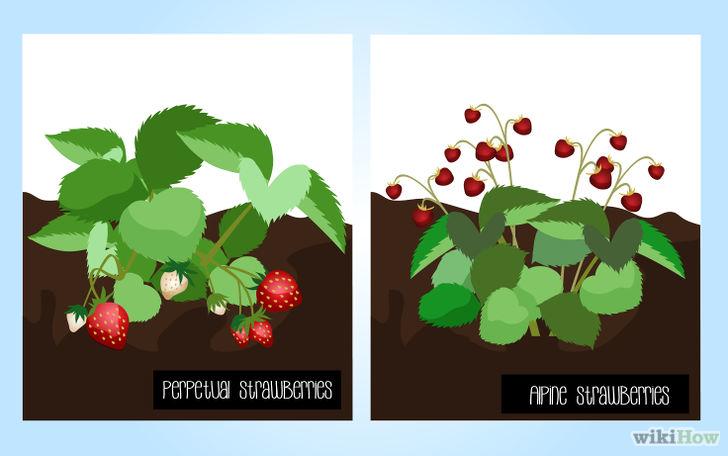 以Grow Strawberries Step 1为标题的图片