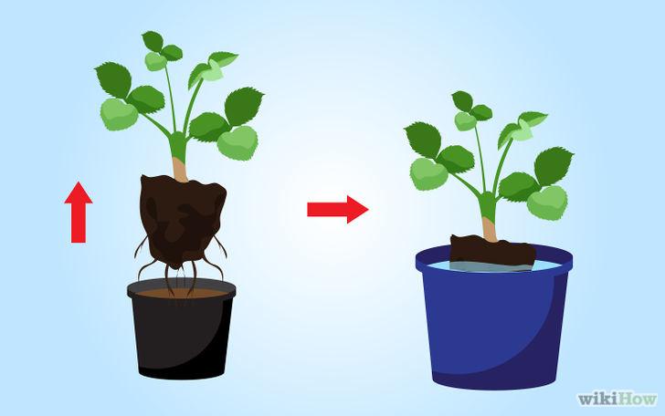以Grow Strawberries Step 10为标题的图片
