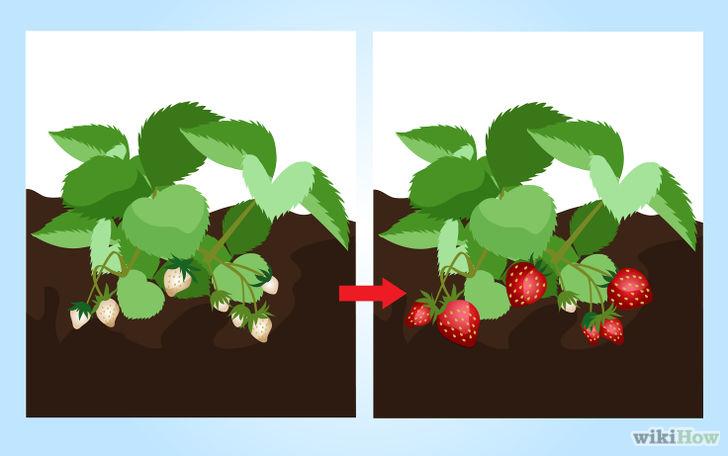 以Grow Strawberries Step 17为标题的图片
