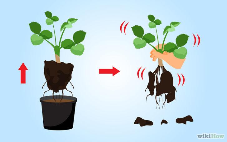 以Grow Strawberries Step 23为标题的图片