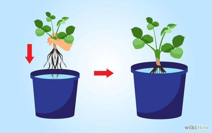 以Grow Strawberries Step 24为标题的图片