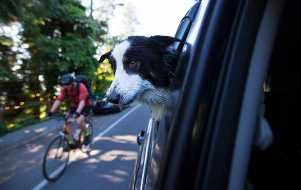 贝拉在车里。研究人员注意到,让爱狗人士知道可以延缓宠物的衰老,或许可以为他们赢得公众的支持,同时带来新的数据。
