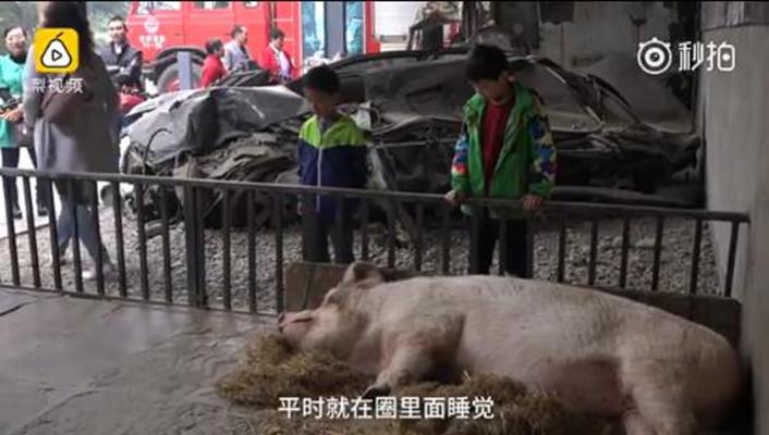 """汶川地震""""猪坚强""""活的很好:住在博物馆 有专人伺候(图)-"""