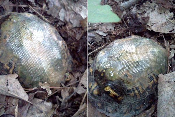 背着玻璃纤维龟壳,车祸受伤的乌龟,健康的活着。它的再次出现,带给兽医惊喜。(脸书图片/大纪元合成)