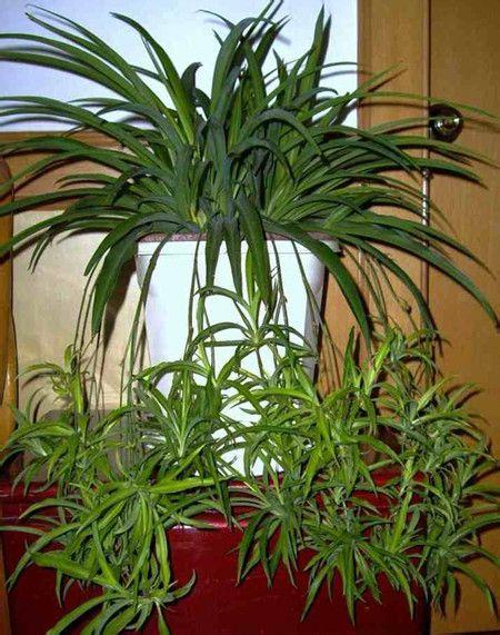 垂盆草特别好养,串联起来做吊兰,超美。