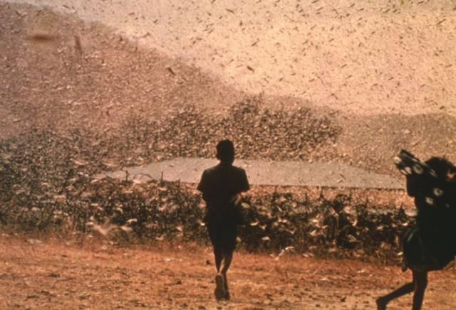 Nálet obrovských hejn dravých červených kobylek ničí úrodu ve státech západní a subsaharské Afriky. Po půl století zaplavily i okolí Káhiry a objevily se i na Krétě a Kanárských ostrovech.