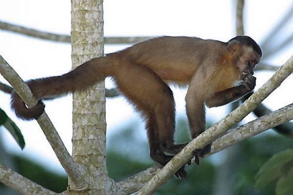 Opice malpy jsou schopné výměnného obchodu, mají smysl pro spravedlnost a disponují celou řadou dalších vlastností, připisovaných doposud jen lidem.