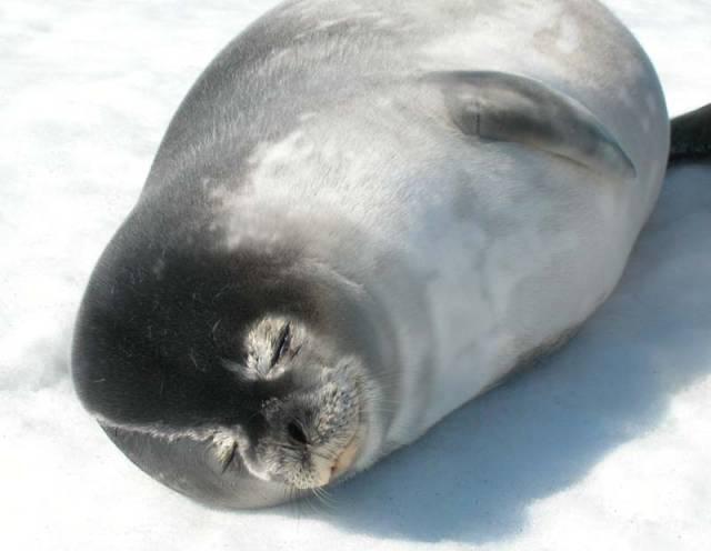 Vědci, kteří pozorovali tuleně při lovu, došli k zajímavým závěrům. Tento savec, jenž na souši působí dojmem neohrabaného tvora, je velmi šikovný lovec a dokáže hledat potravu ve velkých hloubkách i v puklinách ledu.
