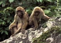Vědecká expedice objevila v odlehlém regionu severovýchodní Indie dosud neznámý druh opice.