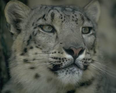 Malým skupinkám leopardů sněžných, kteří přežívají v oblasti střední Asie, hrozí vyhynutí. Projekt, díky němuž se je dosud dařilo chránit před pytláky, skončí podle plánu v polovině roku 2006!