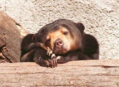 Na leden nezvykle teplé počasí překvapilo ruskou přírodu. V zoologických zahradách se dokonce ze zimního spánku probouzejí medvědi.