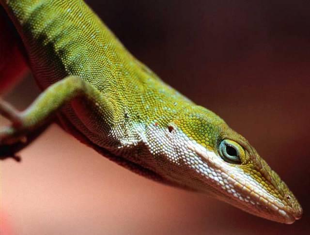 Plazi (Reptilia) jsou studenokrevní obratlovci, jejichž tělo kryjí tuhé rohovité šupiny. Dýchají plícemi. Vědci zatím znají 7 984 druhů dělených do 62 čeledí a čtyř řádů: hatérie, krokodýli, šupinatí a želvy.