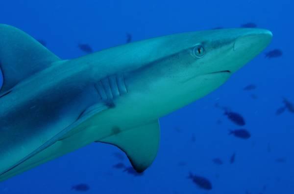 Nejnovější rozsáhlý projekt amerických a španělských oceánografů přinesl překvapivé výsledky. Zejména podtrhl důležitost žraloků pro celý mořský ekosystém.