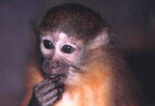 Odborníci objevili v horách v jižní Tanzánii nový, dosud neznámý druh opice, který má svým vzhledem blízko k paviánům.