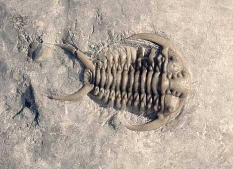 Některé druhy trilobitů byly patrně nejstaršími účastníky soubojů v živočišné říši. Již před stovkami milionů let samci mezi sebou soupeřili o samičky.