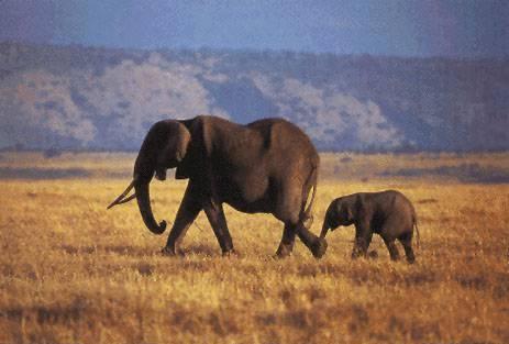 Sloni kvůli válečnému konfliktu hromadně opouštějí Pobřeží slonoviny, kterému kdysi paradoxně dali jeho jméno.