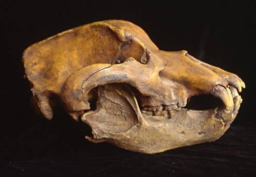 Američtí experti nyní získali a následně rozluštili DNA jeskynního medvěda, který vyhynul před deseti tisíci lety.