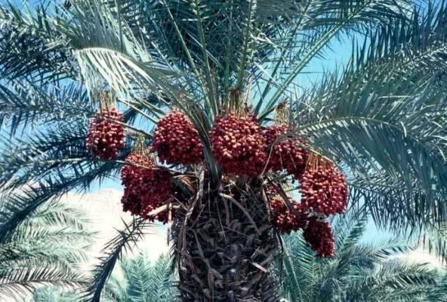 Izraelským vědcům se podařila nevídaná věc! Ze semene starého dva tisíce let nyní vypěstovali malou palmu.