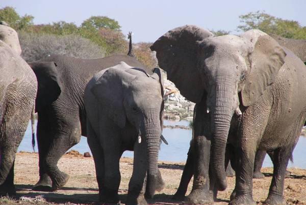 Vědcům by v pátrání po afrických slonech měla v budoucnosti podle amerických odborníků ze Stanfordské univerzity pomoci vojenská technika.