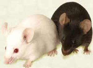 Nejnovější testy na myších prokázaly, že poškození mozku způsobené Alzheimerovou chorobou může být alespoň částečně vratné.