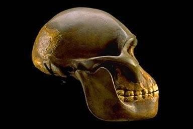 Australopithecus afarensis se již před 3,2 miliony let pohyboval vzpřímeně jako dnešní člověk. Vyplývá to z nedávno zveřejněné studie britských expertů.