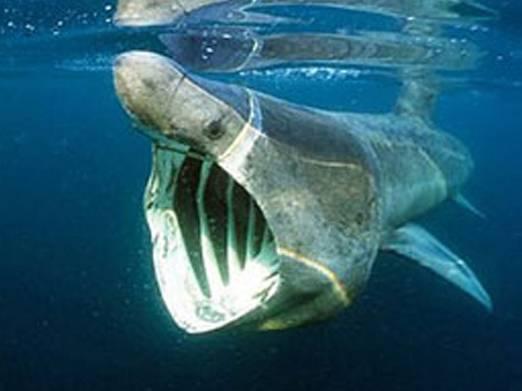 O žraloku velikém toho vědci dodnes příliš mnoho nevědí. Teď ale například zjistili, že je tento mořský gigant celkem šikovným lovcem.