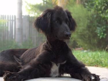 Jihokorejští vědci právě oznámili, že se jim podařilo naklonovat prvního psa na světě! Štěněti afgánského chrta se i po 16 týdnech od narození vede dobře.