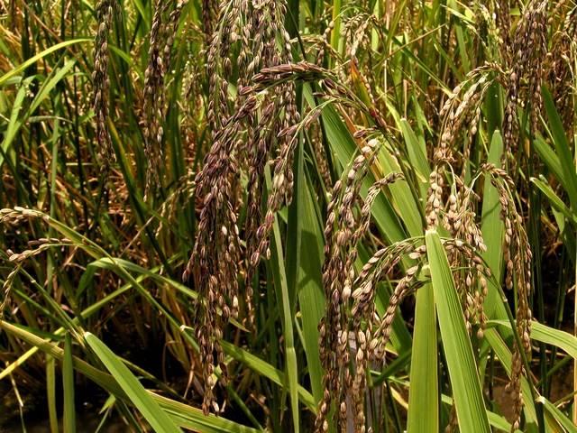 Mezinárodní tým vědců v těchto dnech oznámil, že se mu podařilo dešifrovat genetický kód rýže, jedné z nejvýznamnějších plodin pro celé lidstvo.