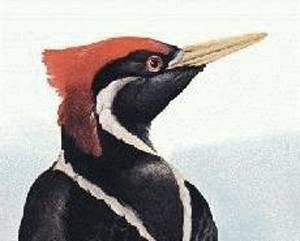 Američtí ornitologové letos s nadšením oznámili, že v lesích východního Arkansasu objevili vzácného datla knížecího, o němž se domnívali, že již dávno vyhynul.