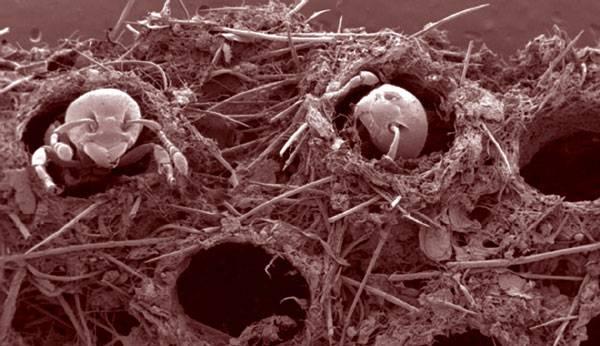 """Některé druhy jihoamerických mravenců používají při lovení hmyzu velmi neobvyklé techniky, které v živočišné říši nemají obdoby. Někdy své oběti doslova """"natahují na skřipec"""". Potvrzují to nejnovější výzkumy francouzských vědců."""