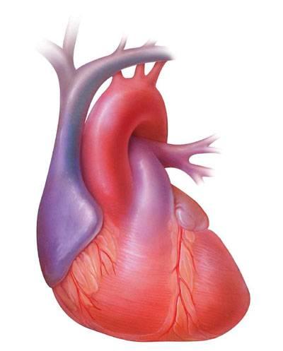 """Ročně u nás postihne akutní infarkt myokardu okolo 13 000 lidí. Současná lékařská věda se proto snaží nalézt cesty, jak poškozený životodárný sval, srdce, opravit.  Jako nejúčinnější a nejšetrnější se jeví oprava s použitím vlastního """"materiálu"""" pacienta."""