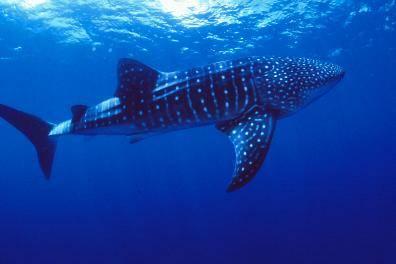 Nové informace o žralocích obrovských získali nyní díky nejmodernějším technologiím odborníci z americké Wildlife Conservation Society (WCS).