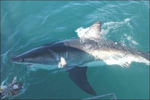 Vědci pozorovali cestu samice velkého bílého žraloka pomocí vysílačky. K překvapení odborníků se Nicole vydala na dlouhou pouť a přeplula Indický oceán tam a zpět za pouhých devět měsíců.