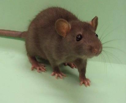 Biologové z univerzity v Aucklandu se rozhodli bojovat proti potkanům. Na jednom z nich otestovali, co opravdu vydrží. Potkan Razzo se choval jako voják cvičený pro přežití v extrémních podmínkách