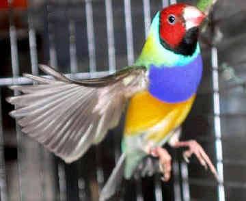 Nejen vzteklí lidé bývají červení. Někteří ptáci si na agresivní brunátnosti dokonce zakládají.