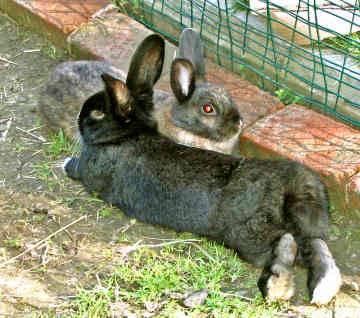 Po vyšlechtěných svítících prasatech přicházejí vědci s dalším kontroverzním projektem. Hodlají stvořit hybridní embryo člověka a králíka.