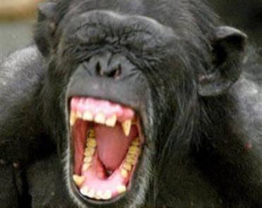 Člověk je na molekulární úrovni DNA k šimpanzům blíže než šimpanz ke gorile nebo k orangutanovi.