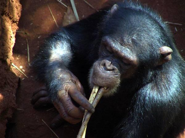 Přečtením dědičné informace člověka a šimpanze a jejich vzájemným srovnáním jsme se rozluštění záhady lidských schopností přiblížili víc než kdykoli předtím.