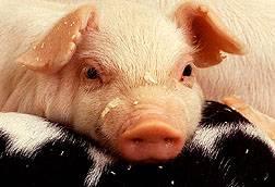 Zmutovaná prasata mají ve svém tuku škodlivé mastné kyseliny nahrazeny prospěšnými.