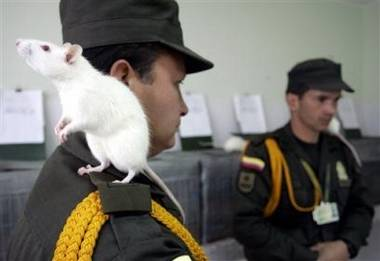 V Bogotě vzniká šestičlenná brigáda pyrotechnických potkanů.