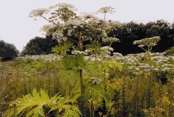Jsou všude kolem nás, i tam kde byste je nečekali. Šíří se jako lavina současně s rozvojem mezistátní dopravy a masovým rozšiřováním turistiky. Zatím si jejich nebezpečnost většina lidí příliš neuvědomuje, ale pro přírodu a její ekosystémy znamenají často smrtelné nebezpečí. Jde o invazní rostliny.