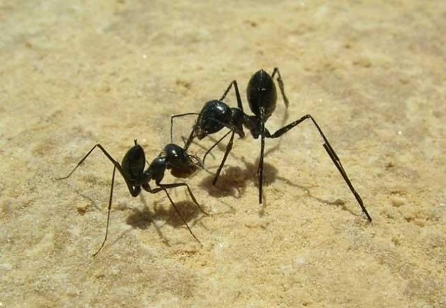 Prodlužte mravencům nohy o milimetr, a už nenajdou cestu zpět do hnízda.